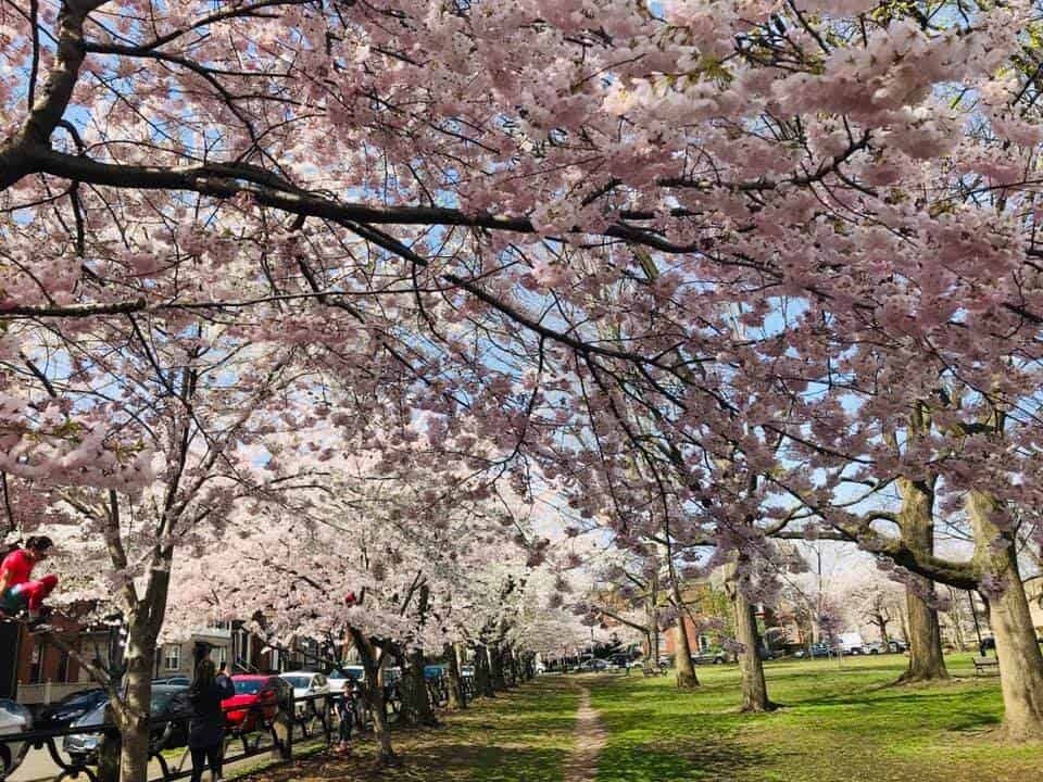 Annual Cherry Blossom Festival, New Haven, CT