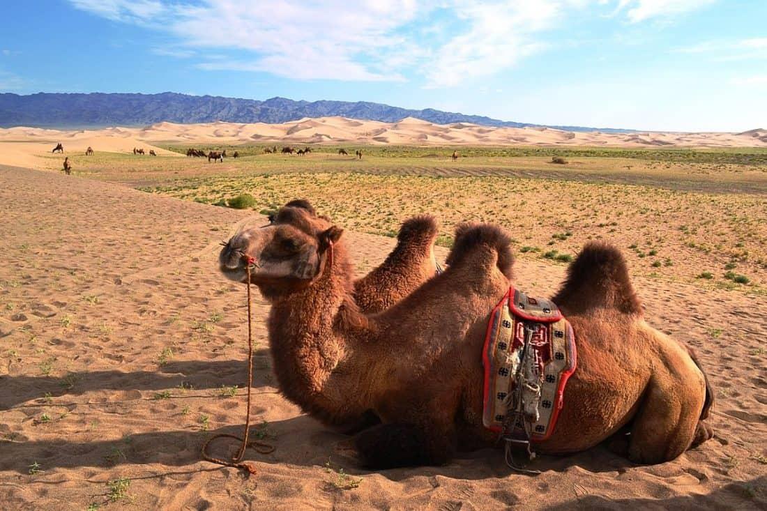Bactrian Camel in Gobi Desert, Mongolia