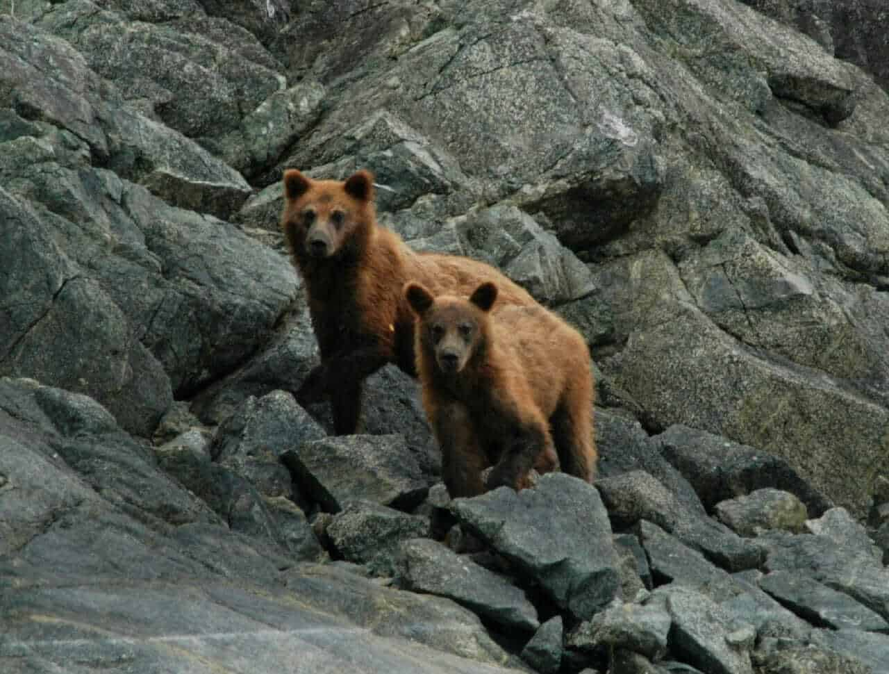 Bears at Glacier Bay National Park