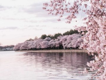 Cherry Blossom in the US