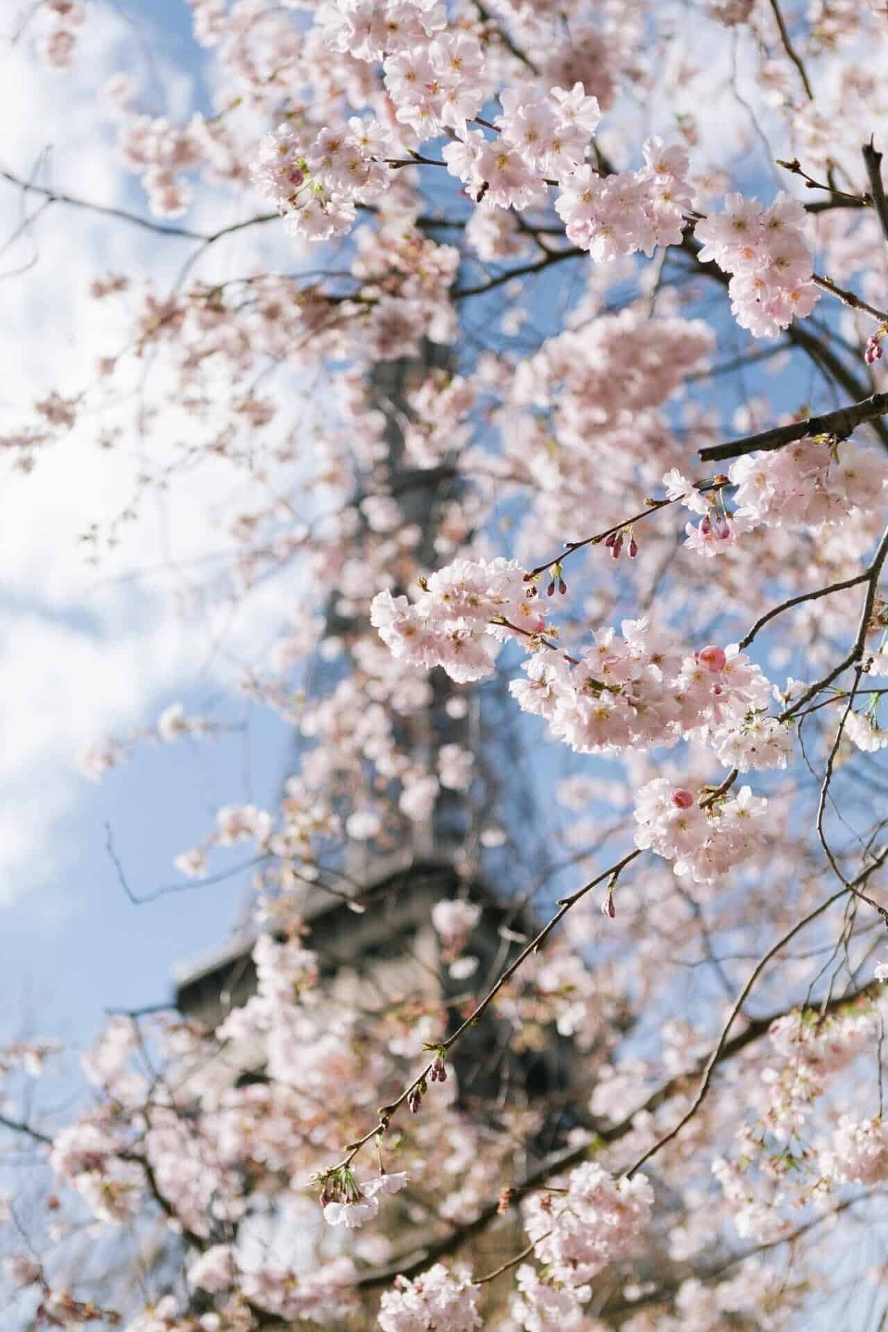 Cherry blossom - Eiffel Tower, Paris