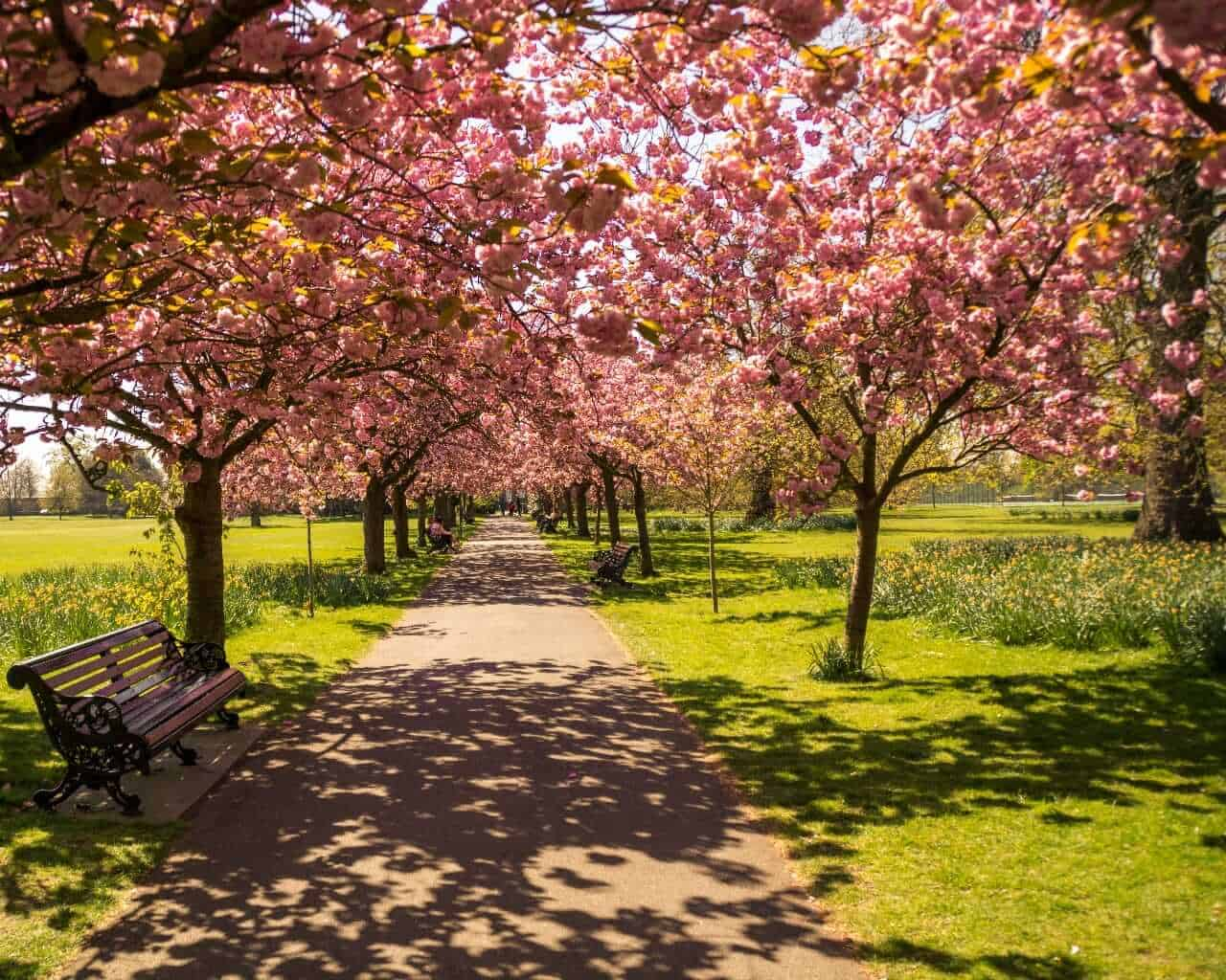 Cherry blossom at Greenwich Park, London