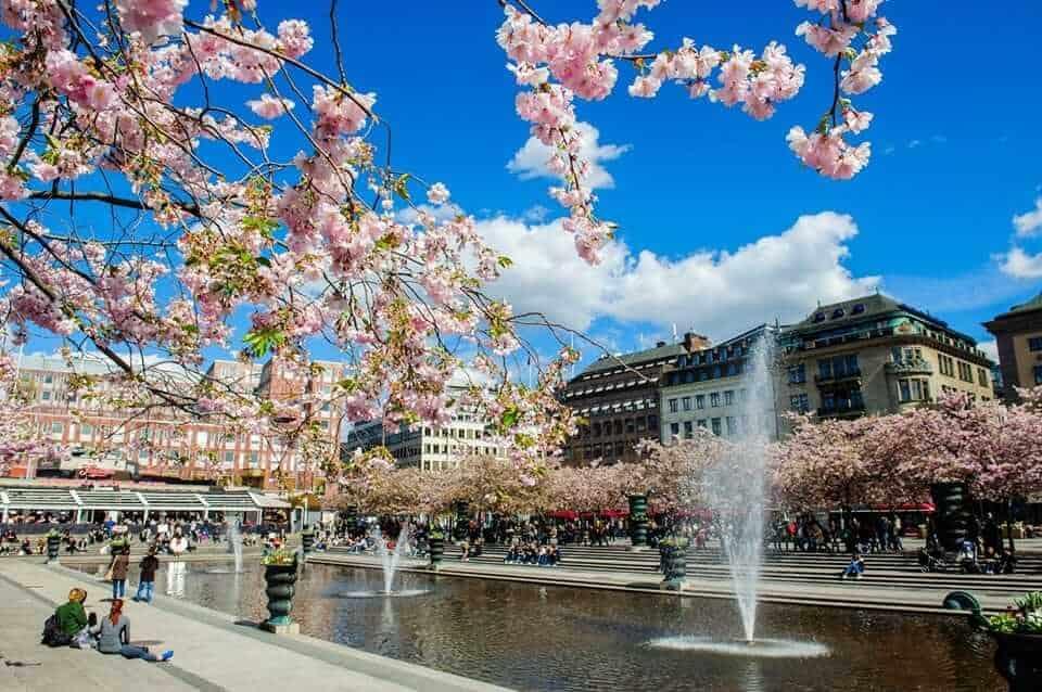 Cherry blossoms in Kungsträdgården, Stockholm