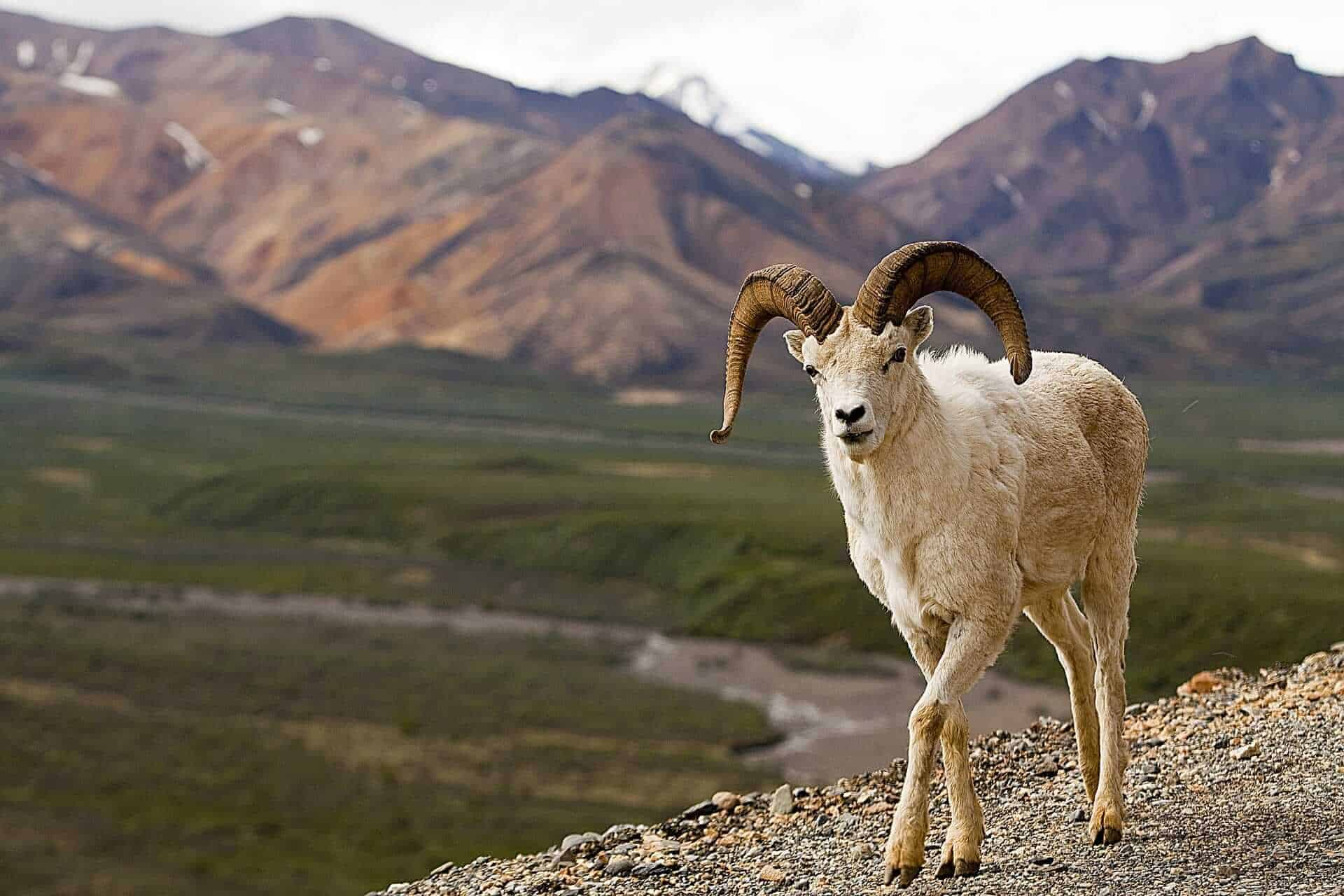 Dall Sheep at Denali National Park, destinos vida salvaje