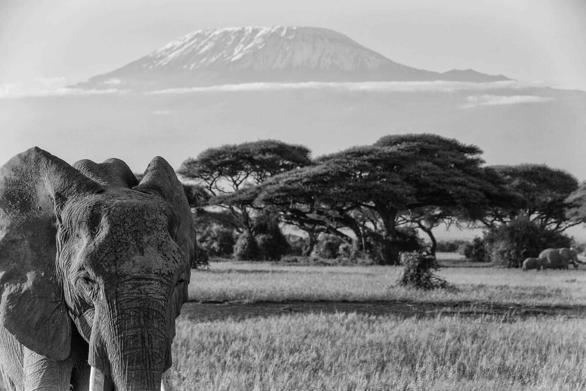 Elephant in front of Mount Kilimanjaro