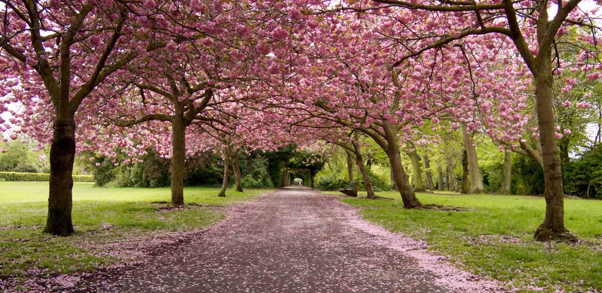 Herbert Park cherry blossom, Dublin, Republic of Ireland