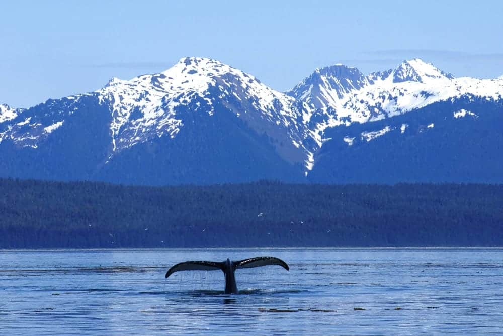 Humpback Whale Tail at Glacier Bay National Park