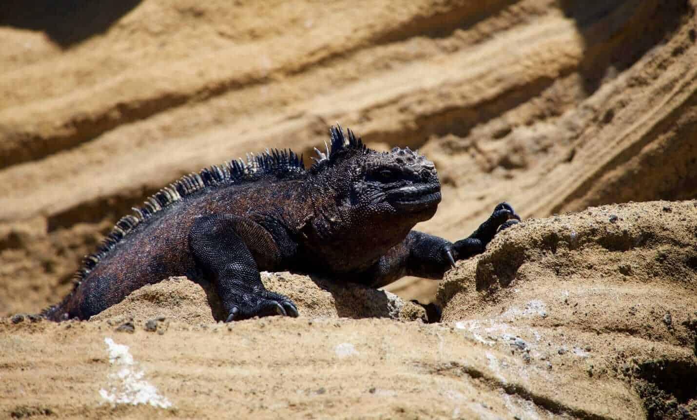 Iguana at Galapagos Islands