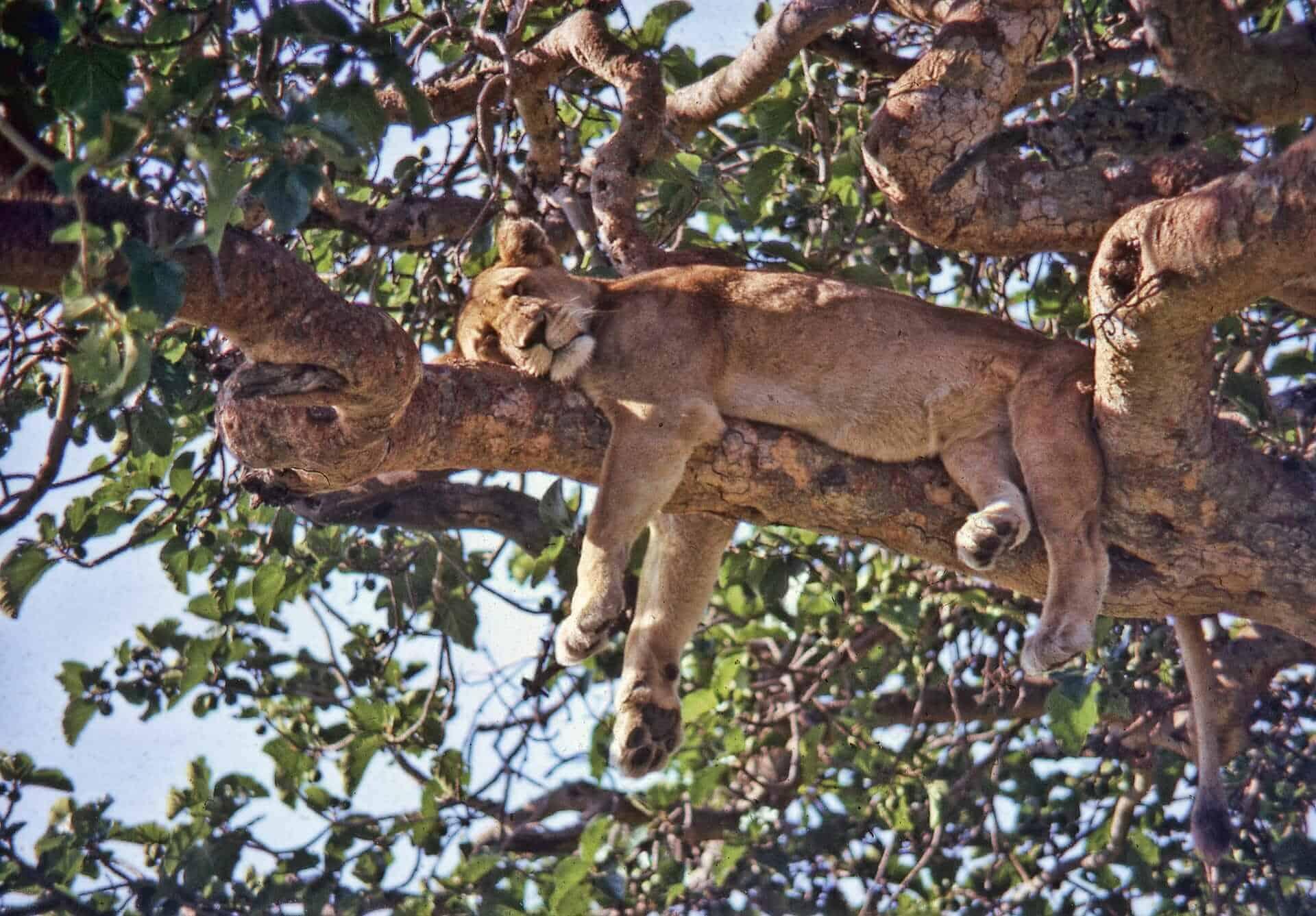 Ishasha lion, Uganda, destinos para disfrutar de la vida salvaje