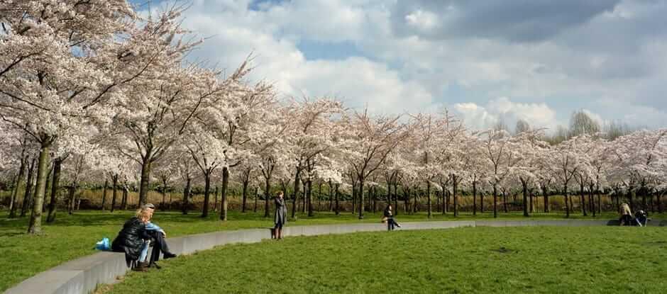 Kersenbloesempark Cherry Blossom, Amsterdam