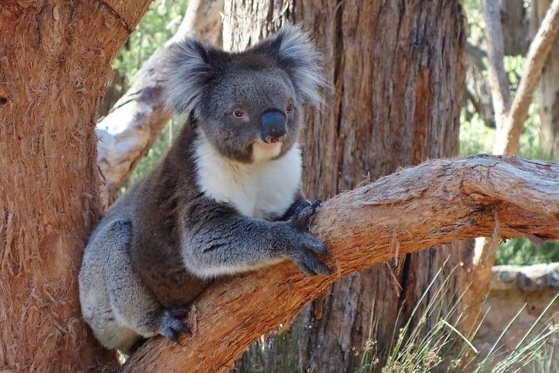 Koala at Cleland Wildlife Park, Adelaide, Australia