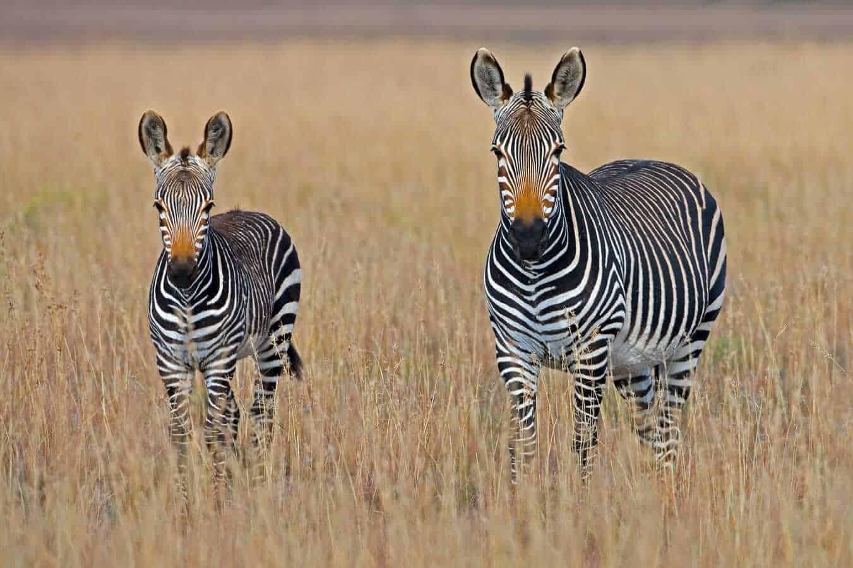 Mountain Zebra, South Africa