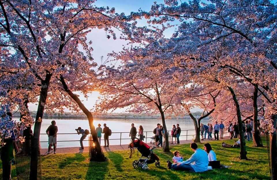 National Cherry Blossom Festival, Washington DC