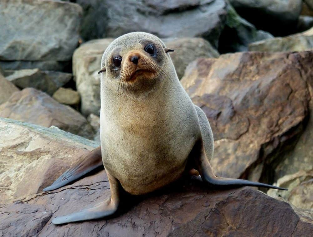 New Zealand Fur Seal