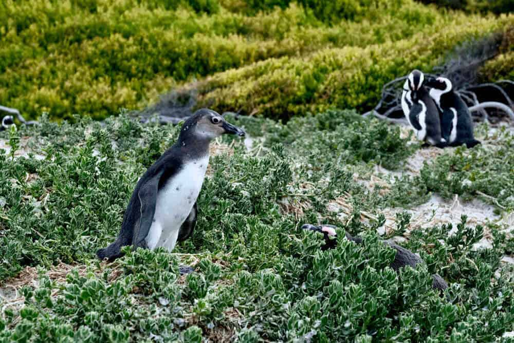 Penguins - Cape Town