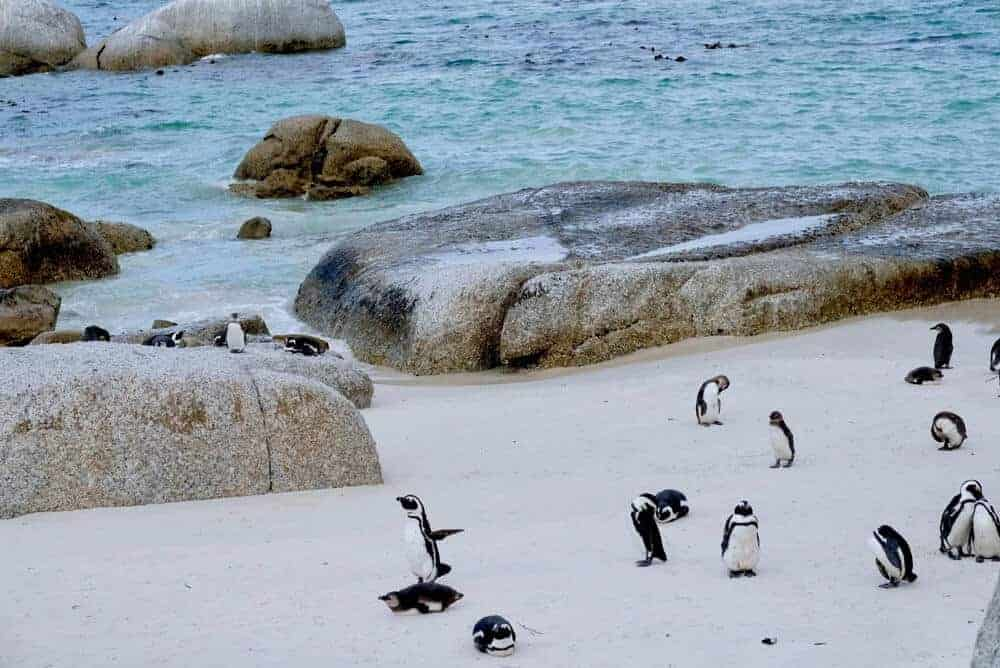 Penguins at Boulders Beach - Cape Town