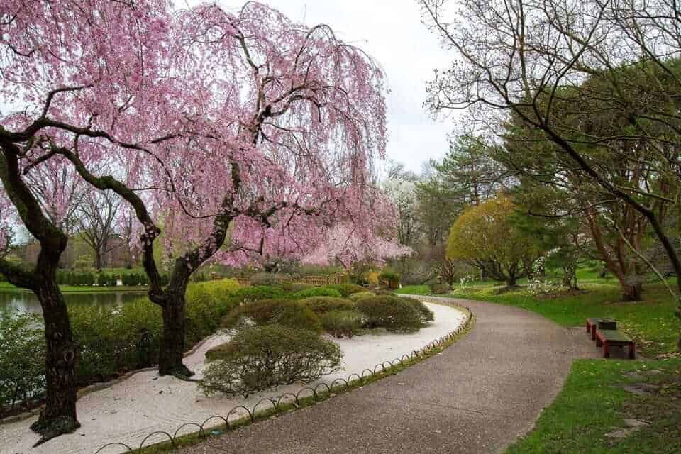 Sakura flowering in the Japanese Garden, St Louis