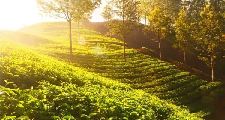 Tea Garden (1)
