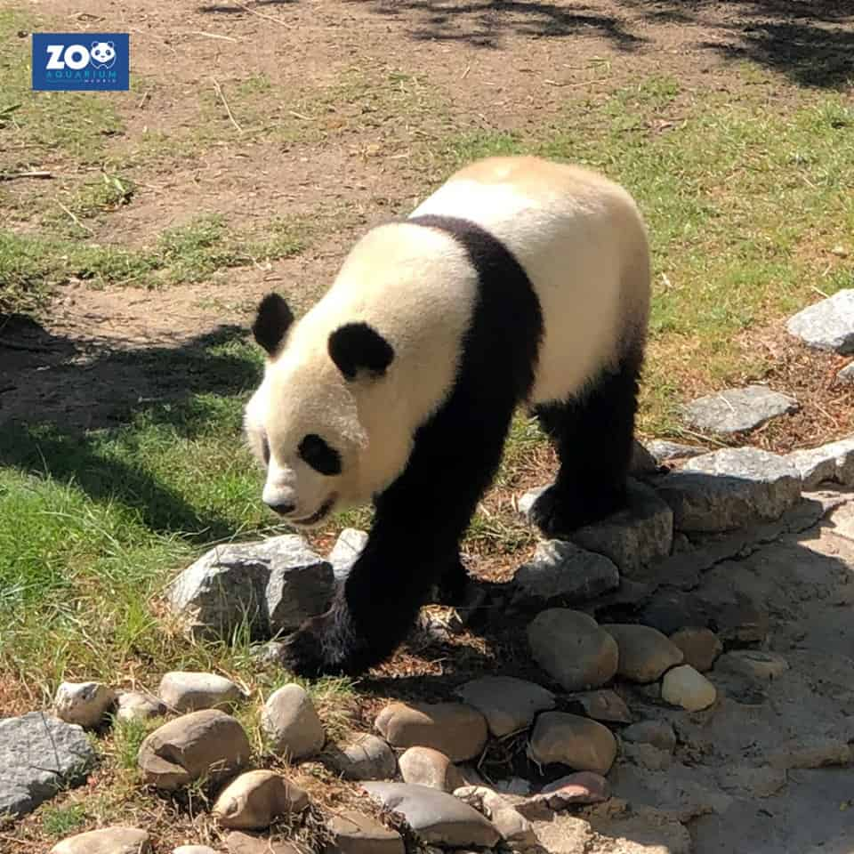 panda-madrid-zoo-aquarium-madrid-spain