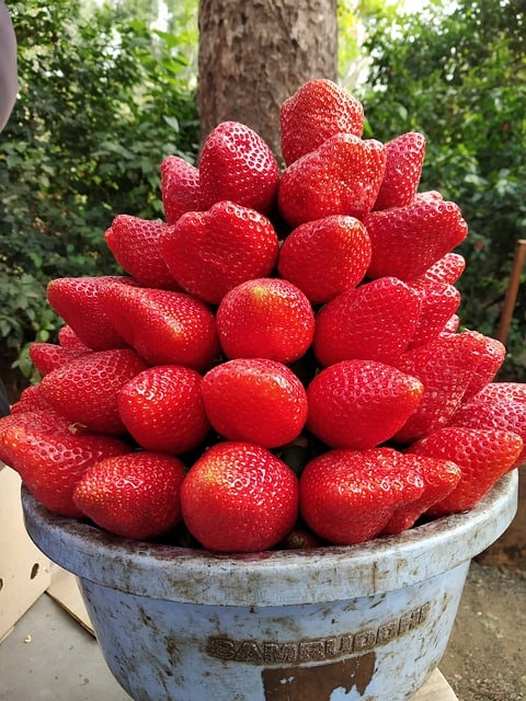 strawberry-Panchgani-Maharashtra-India
